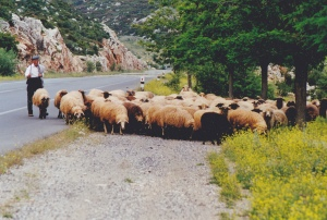 Large_herd_of_sheep_Greece